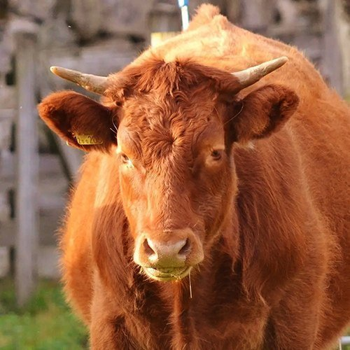 photo of a cow in Dundee